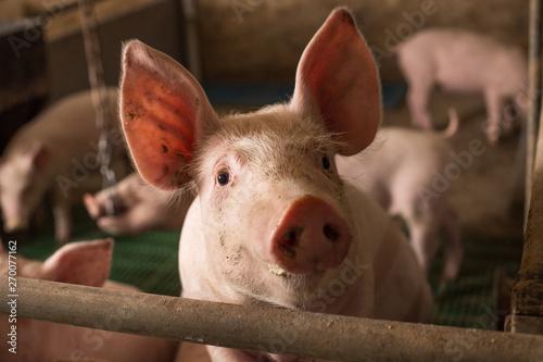 Obraz na plátne Curious pig looking at camera