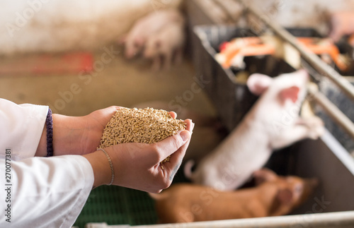 plakat Veterinarian giving granules to piglets