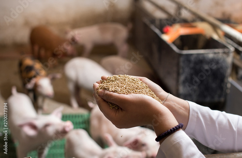 Cuadros en Lienzo  Veterinarian giving granules to piglets