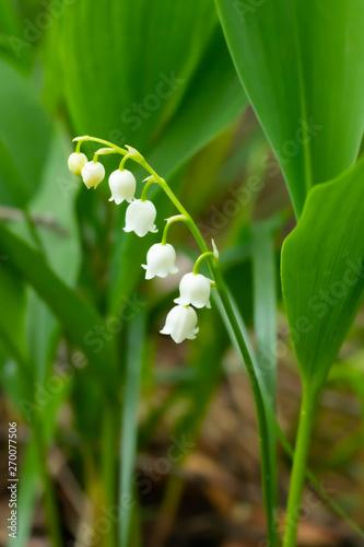 Deurstickers Lelietje van dalen Lily of the valley flower in spring forest
