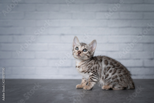 side view of 8 week old black silver tabby rosetted bengal