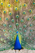 Indian Male Peacock (blue Peafowl, Pavo Cristatus) With His Tail Feathers Open