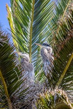 Two Great Blue Heron Chicks In Nest