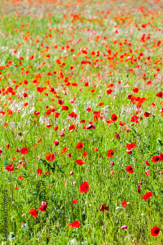 Photo sur Aluminium Londres meadow with poppies, Provence, France