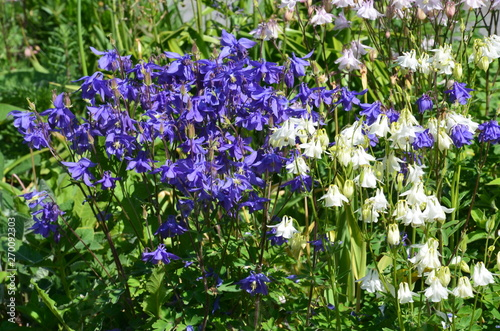 Slika na platnu Allgemeine Gartenakelei blau weiss - aquilegia vulgaris