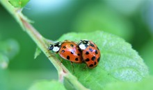 Two 13 Spot Ladybirds Mating