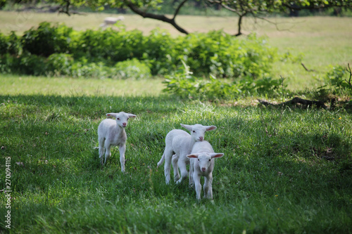 a few day old lambs running on a meadow - Buy this stock