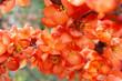 Leinwandbild Motiv Ozdobne, pomarańczowe kwiaty pigwowca japońskiego
