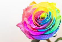 Blume Als Regenbogen Rose Bunt Vor Weissem Hintergrund