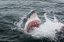 Great White Shark, Carcharodon Carcharias, Africa
