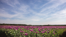 Field Of Lilac Poppy Flowers I...
