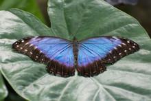 Butterfly 2019-17 / Blue Morph...