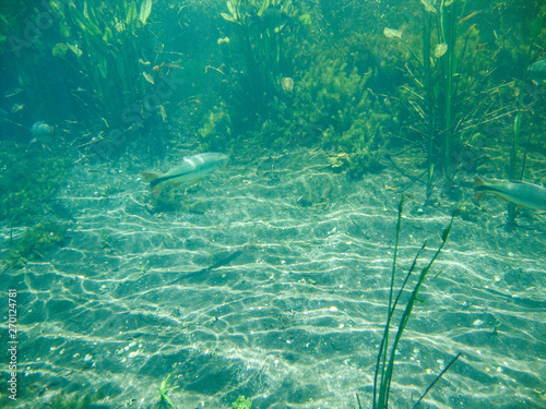 Fotografija  Underwater view with fishes and water plants at Sucuri river in Bonito, Mato Gro