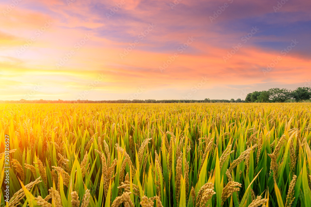 Fototapeta Ripe rice field and sky background at sunset time with sun rays