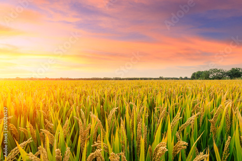 Keuken foto achterwand Meloen Ripe rice field and sky background at sunset time with sun rays