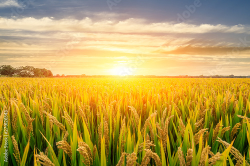 Garden Poster Culture Ripe rice field and sky background at sunset time with sun rays