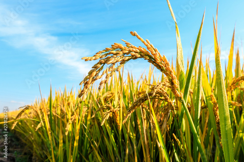 Ripe rice field and sky landscape on the farm Fotobehang