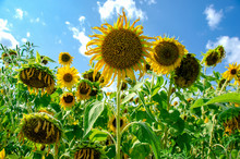 Sunflower Field In Sunshine With Blue Sky And Clouds