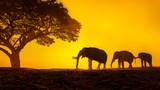 Fototapeta Sawanna - Silhouette elephant on the background of sunset,elephant thai in surin thailand