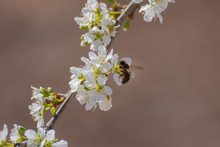 Close-up Of White Plum Blossoms And A Bee Collecting Pollen. Typical Spring Background.
