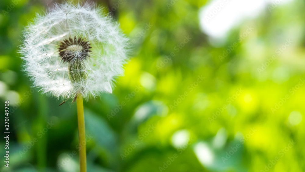 Fototapety, obrazy: Floral background. Blurred green bokeh. Spring floral background with flowers and green leaves, grass. Sunshine. Green. Floral background, flowers on a green background.