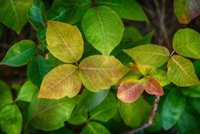 Leaves Of Poison Ivy Plant, Toxicodendron Radicans