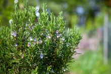 Blühender Rosmarin - Rosmarinus Officinalis