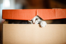 Cute Grey Small Cat In Cardboa...