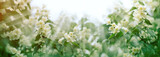 Branch of beautiful jasmine flower lit by sun rays - sunbeams