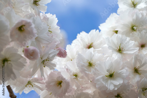 Blossom in Spring Netherlands #270180571
