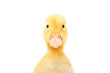Leinwanddruck Bild - Portrait of a cute little duckling, closeup, isolated on white background