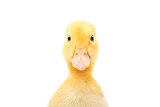 Fototapeta Zwierzęta - Portrait of a cute little duckling, closeup, isolated on white background