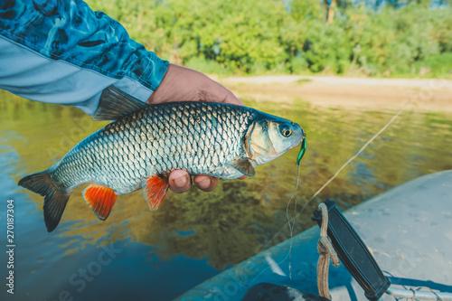 Fotobehang Fish in the hand of an angler. Chub.