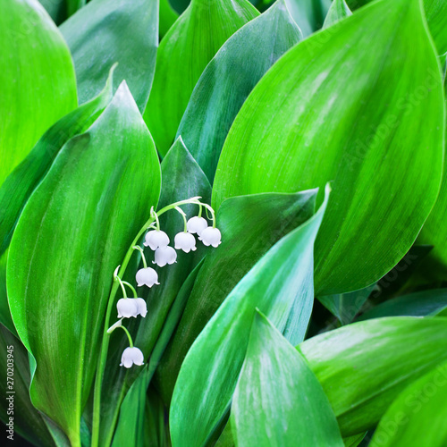 Poster Muguet de mai White flowers of lily of the valley on green leaves blurred background closeup, may lily flower macro, Convallaria majalis in bloom, beautiful spring or summer nature floral blossom design, copy space