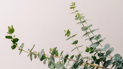 eucalyptus isolated on beige background