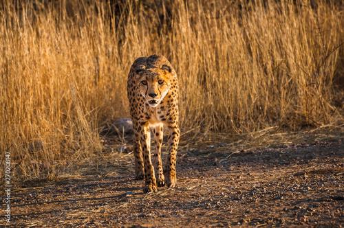 Fotografie, Obraz  Gepard in der Savanne , Namibia