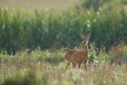 Photo sur Aluminium Roe Roebuck - buck (Capreolus capreolus) Roe deer - goat