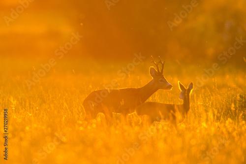 Foto auf Leinwand Reh Roebuck - buck (Capreolus capreolus) Roe deer - goat