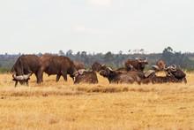 African Buffalo Herd, Cape Buffalo (Syncerus Caffer) On Dry Grassland With Large Horns. Ol Pejeta Conservancy, Kenya, East Africa