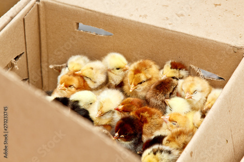 Photo yellow and black little broiler chickens with down on the body sit in a cardboard box close-up top view
