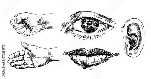Fotografie, Obraz  Human senses. Hand drawn set.