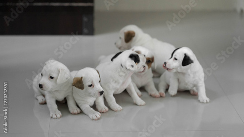 Fototapety, obrazy: jack russell Terrier Puppy, cute puppy, jack russell cute dog