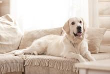 Cute Big White Dog Lies On A S...