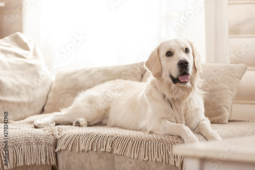Swell Cute Big White Dog Lies On A Sofa In A Cozy Country House Pdpeps Interior Chair Design Pdpepsorg