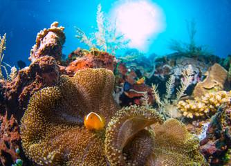 A beautiful clown fish on t...