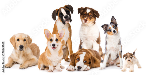 Tela Different breed dog puppies isolated on white background
