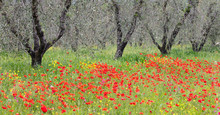 Olive Trees Val D'Orcia Tuscany In Poppy Field Olive Groves Italy