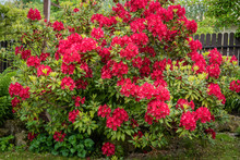 Bush Of Rhododendron In The Ga...