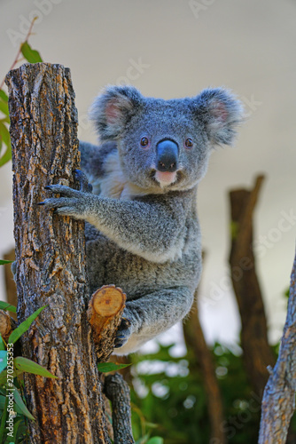A koala on a eucalyptus gum tree in Australia