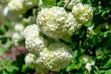 Beautiful White Balls Of Bloom...